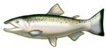 Silver  Coho  Salmon by TokoTime