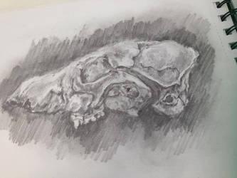 Skull study by Akiratmeo
