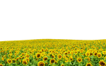 Sunflowers PNG file ..Use Anywhere by TheArtist100