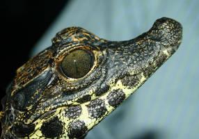 Dwarf African crocodile by AngiWallace