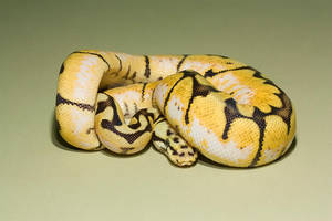 Bumble bee royal python by AngiWallace
