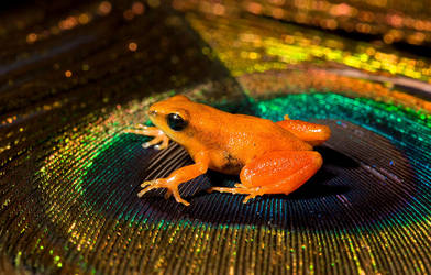 Mantella on peacock feather by AngiWallace