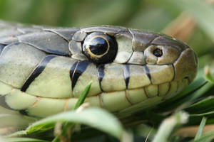Grass snake headshot by AngiWallace