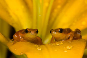 Golden mantella pair by AngiWallace