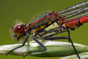 Red damselfly close up by AngiWallace