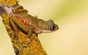 Tiger legged monkey frog by AngiWallace