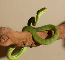 White lipped tree viper by AngiWallace