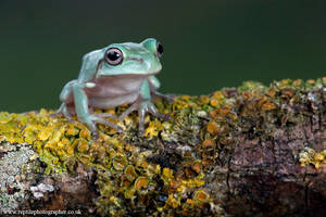Froglet on twig 2 by AngiWallace