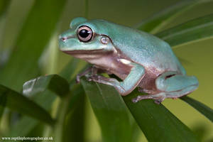 Whites tree froglet 1 by AngiWallace