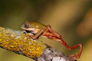 Tiger leg waxy monkey frog by AngiWallace