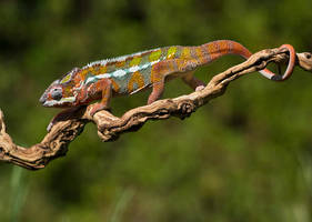 A chameleons life by AngiWallace