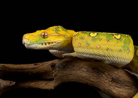 Green tree python by AngiWallace