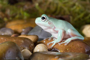 Whites tree frog by AngiWallace