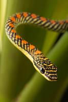 Paradise snake amongst leaves by AngiWallace