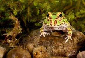 Argentine horned frog by AngiWallace