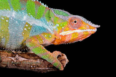 Multi coloured chameleon by AngiWallace