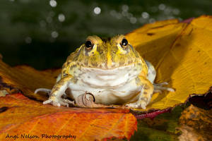 African bullfrog by AngiWallace
