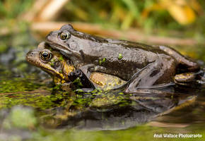 Common frog amplexus by AngiWallace