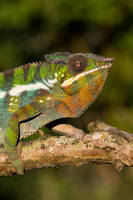 Colourful chameleon by AngiWallace