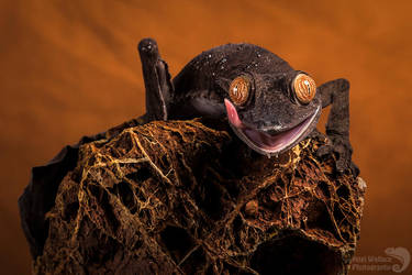 Giant Leaf tailed gecko by AngiWallace
