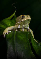 Waxy monkey frog on leaves by AngiWallace