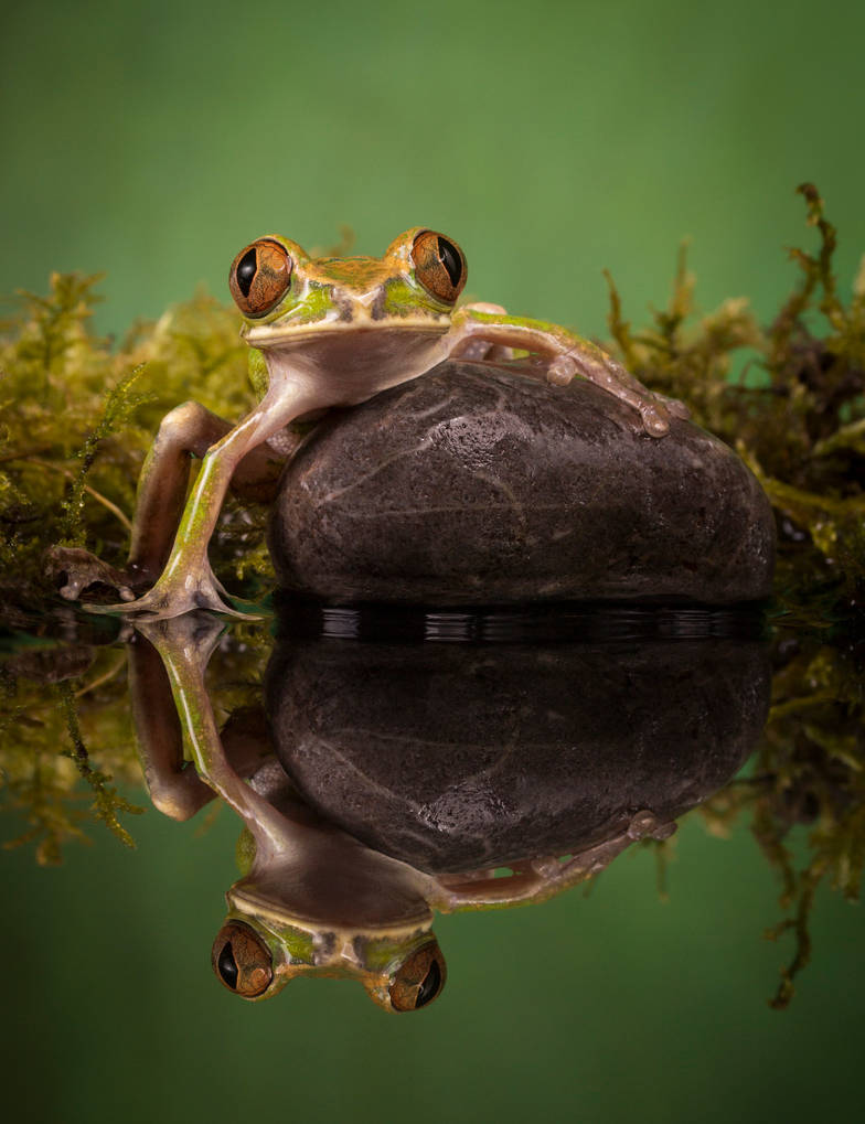 Peacock frog pond reflections by AngiWallace