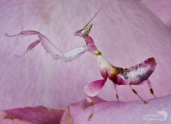 Orchid mantis by AngiWallace