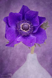 Blue Anemone with droplets by AngiWallace