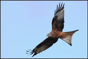 Gigrin Farm - Red Kite I by nitsch