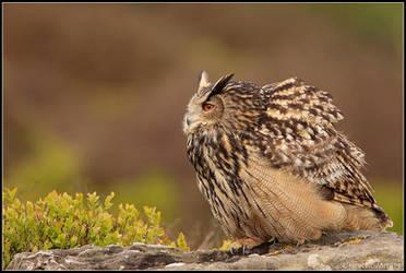 Moorland Eagle Owl II by nitsch