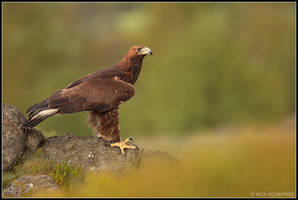 Male Golden Eagle II by nitsch