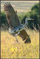 Grey Heron Landing by nitsch