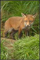 Blue Eyes - Little Fox Cub by nitsch