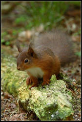 Red Squirrel by nitsch