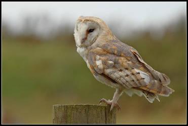 Barn Owl by nitsch