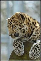 Milena the Amur Leopard Cub by nitsch