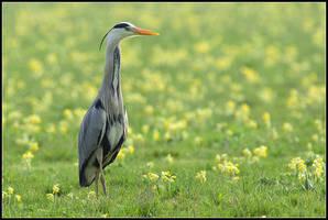 Grey Heron in Cowslip Meadow by nitsch