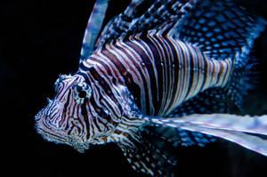 lion fish by Cheyanne-Stinson