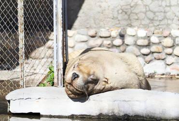 Steller sea lion by Koobassoff