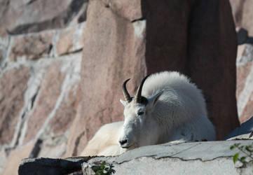 Mountain goat #1 by Koobassoff
