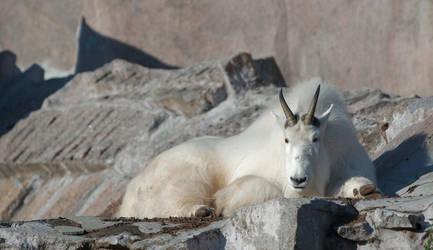 Mountain goat #2 by Koobassoff