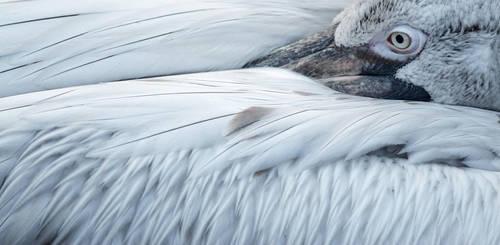 Dalmatian Pelican by Koobassoff