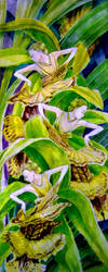 Coelogyne Dame by lilitus