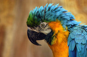 Blue-and-yellow Macaw by Topasdragon