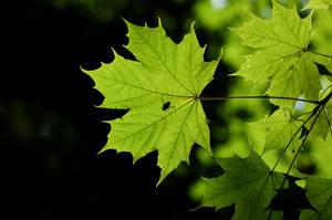 Leaves in Sunlight by karlomat