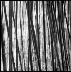 Bamboo by karlomat