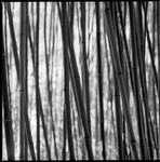 Bamboo by karlomat