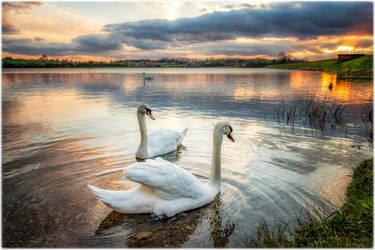 My Favorite Swans by happymillerman