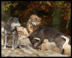 Wolf fight by AtelierKunz