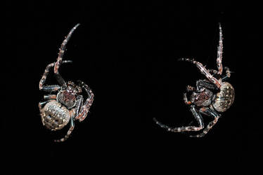Two spiders by Roserud